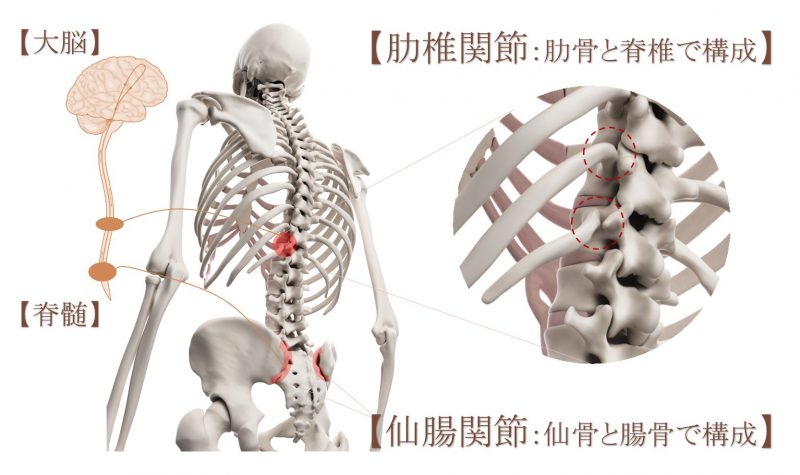 関節に対するAKA治療で最も重要な肋椎関節と仙腸関節のイラスト